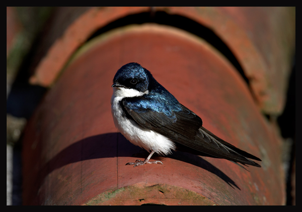 Blue-and-White-Swallow.jpg (145046 bytes)