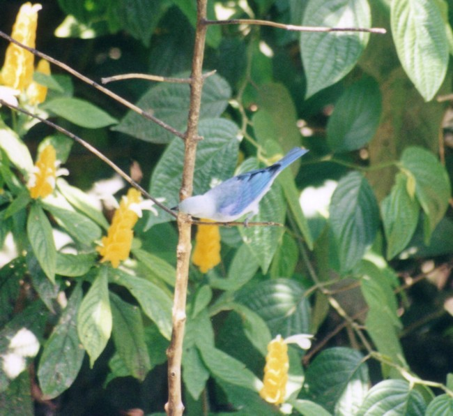 blue_tanager.jpg (673181 bytes)