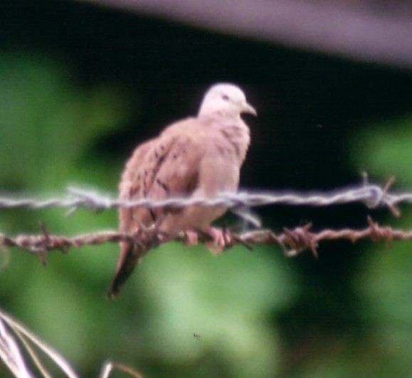 ruddy ground dove 2.jpg (44248 bytes)