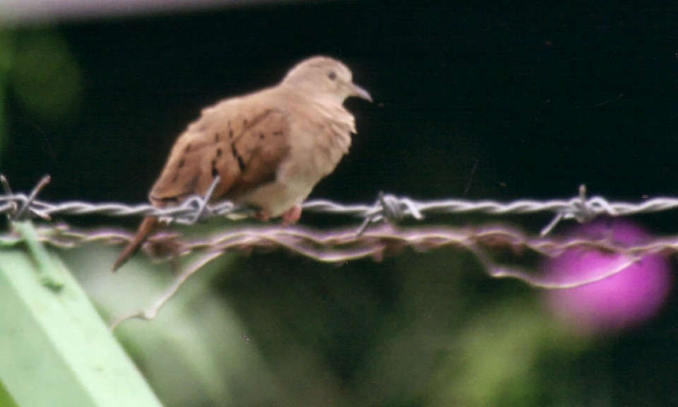 ruddy ground dove female.jpg (81512 bytes)
