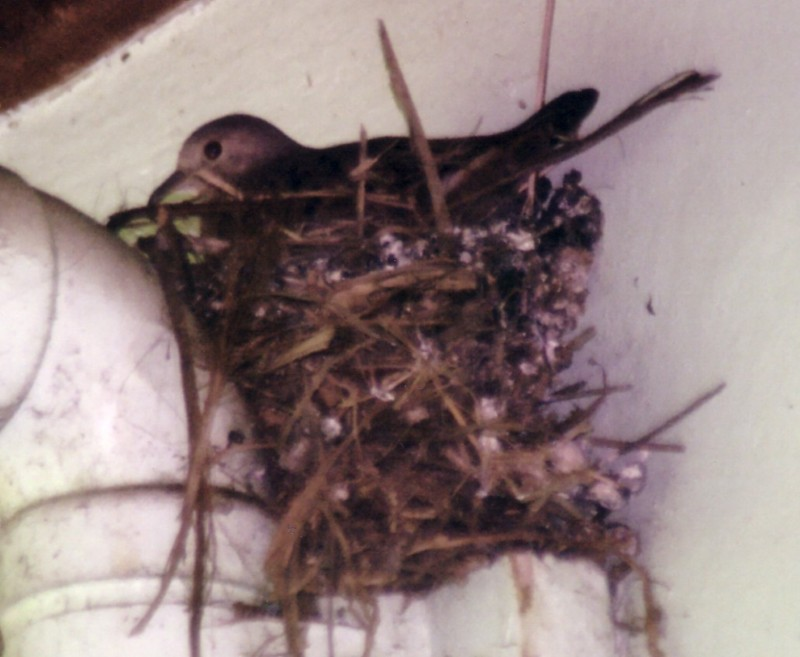 ruddy ground dove nesting.jpg (90092 bytes)