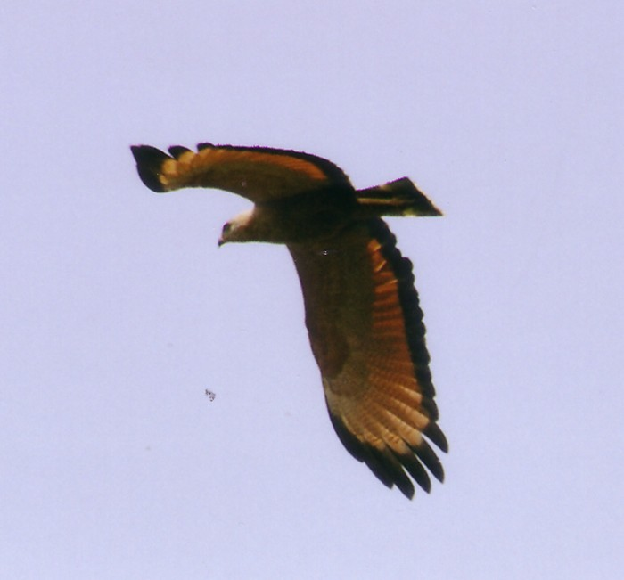 savanna_hawk_in_flight.jpg (47855 bytes)