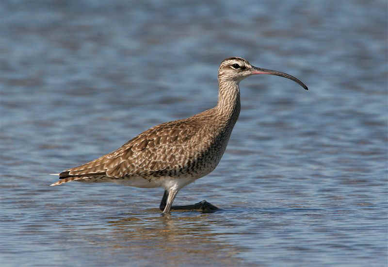 whimbrel_by_gallus.jpg (37947 bytes)