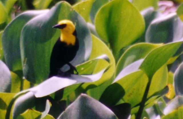 yellow hooded blackbird 2 small view.jpg (58678 bytes)